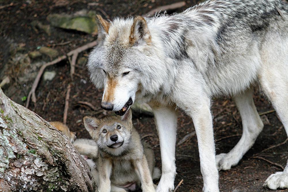 Padres del reino animal