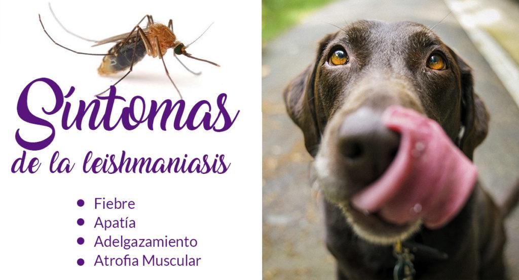 Síntomas de la leishmaniasis, tratamiento en Soria