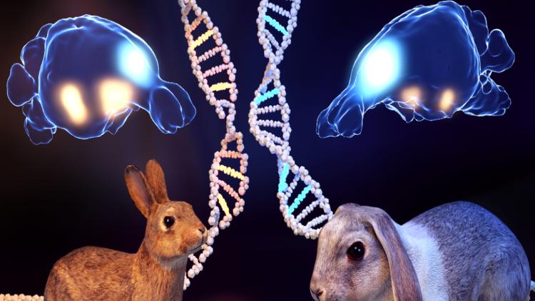 Cómo los conejos perdieron el miedo y cambiaron sus cerebros