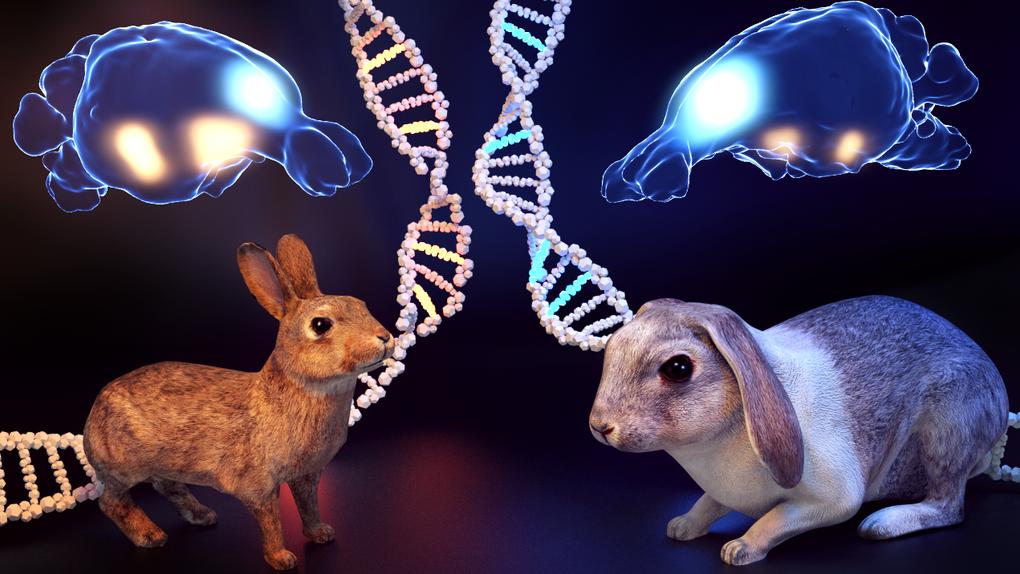 la domesticacion de los conejos ha modelado su cerebro