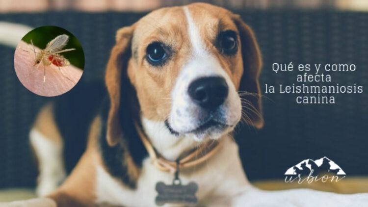 Qué es y como afecta la Leishmaniosis canina