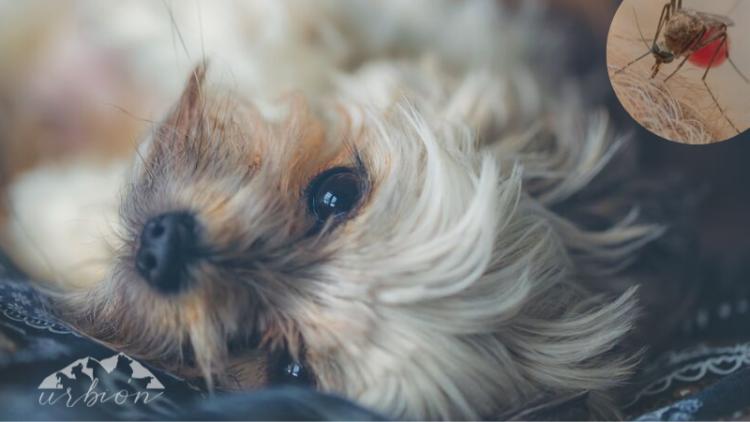 Todo lo que debes saber sobre la Leishmaniosis canina