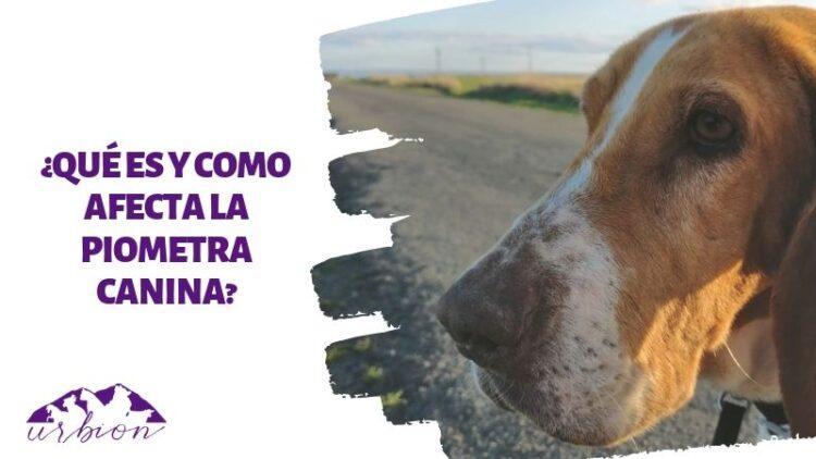 ¿Qué es y como afecta la piometra canina?
