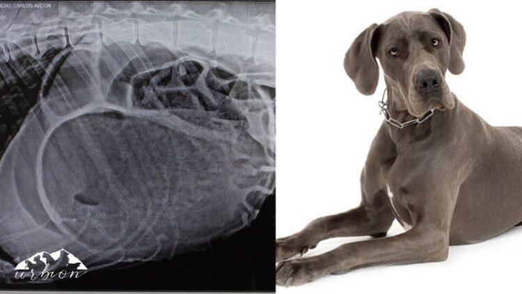 Epi, el dogo alemán que llegó con una torsión de estómago