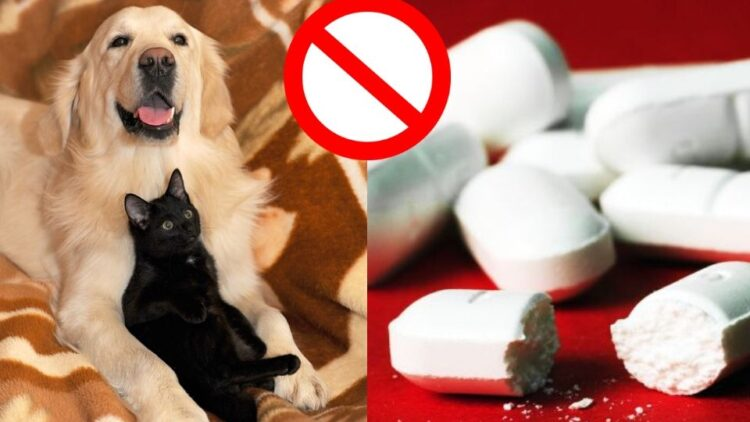 El Paracetamol en perros y gatos: Intoxicación y síntomas