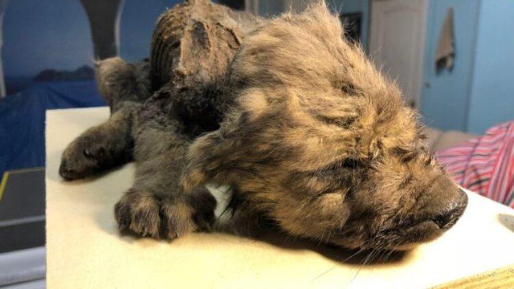 El cachorro congelado de 18.000 años de antigüedad hallado en Siberia